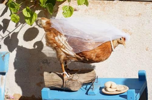 Sauvez les poules : adoptez-les !
